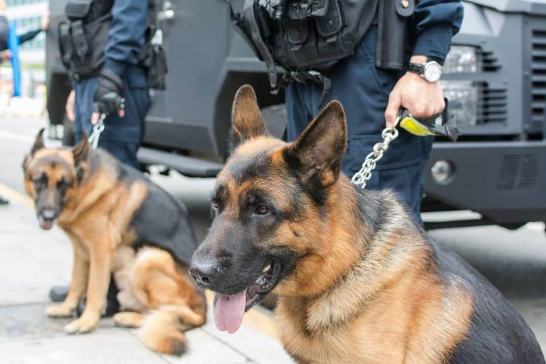 Police sniffer dogs with their handlers