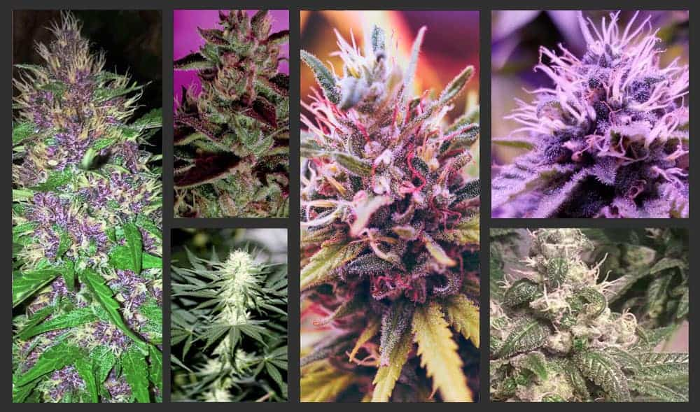 a selection of 6 cannnabis strains that are great for vaporizers